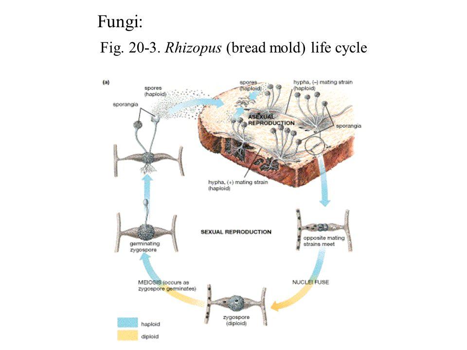 Fig. 20-3. Rhizopus (bread mold) life cycle Fungi: