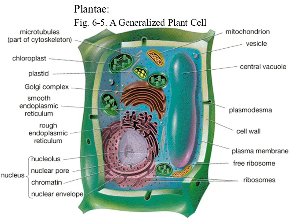 Fig. 6-5. A Generalized Plant Cell Plantae: