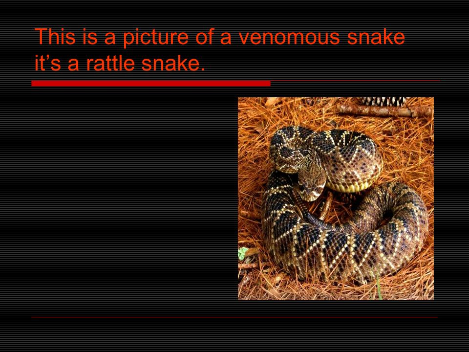 Snake facts Snakes are reptiles. There are about 3000 species of snakes in the world. And 375 of them are venomous.