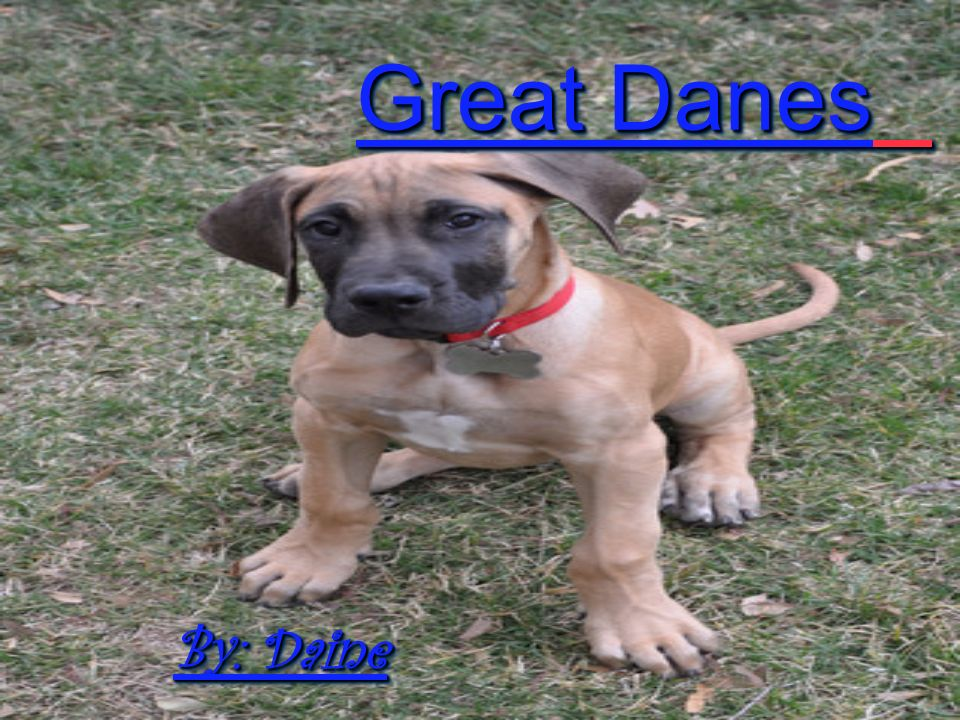Health Problems RGreat Danes have some health problems that are common to large breeds.