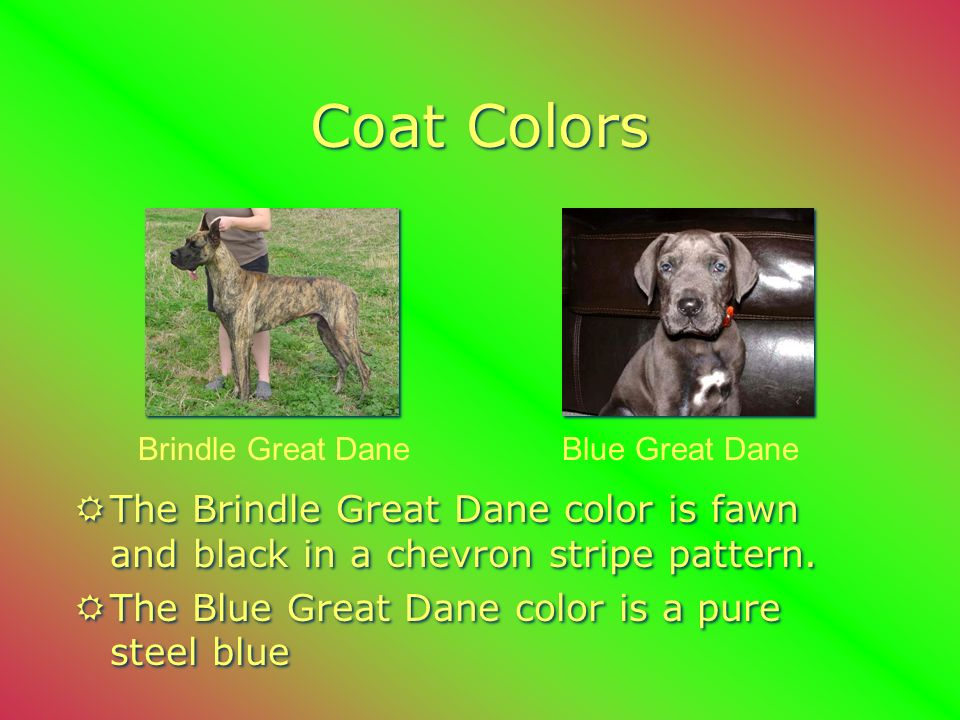 Black Great Dane Fawn Great Dane Coat Colors RThe Fawn Great Dane color is yellow gold with a black mask.