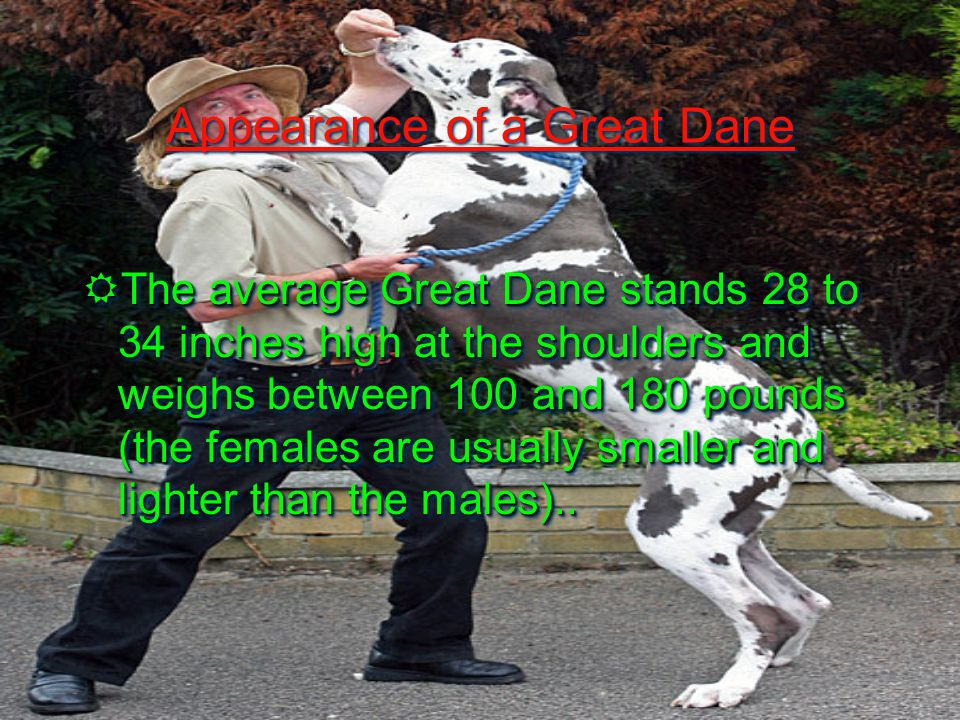 About Great Danes Great Danes are Giant and powerful dog.