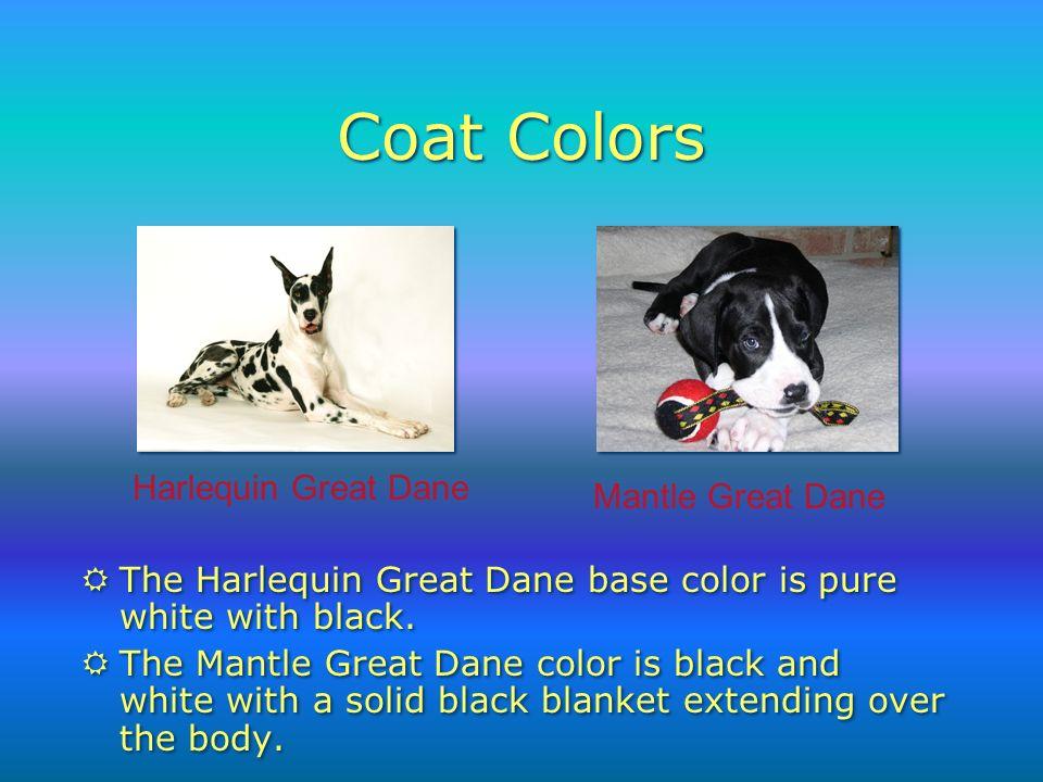 Harlequin Great Dane Mantle Great Dane Coat Colors RThe Harlequin Great Dane base color is pure white with black.