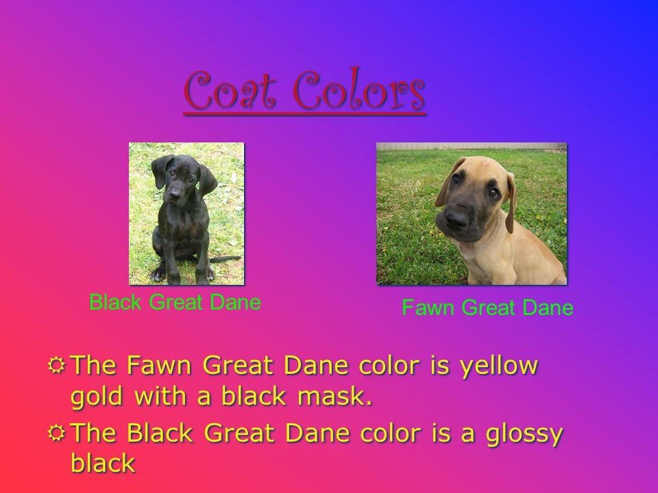 Black Great Dane Fawn Great Dane Coat Colors RThe Fawn Great Dane color is yellow gold with a black mask.