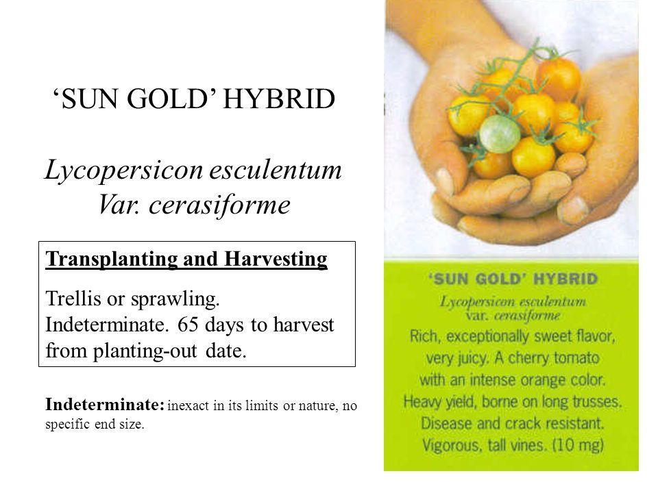 SUN GOLD HYBRID Lycopersicon esculentum Var.