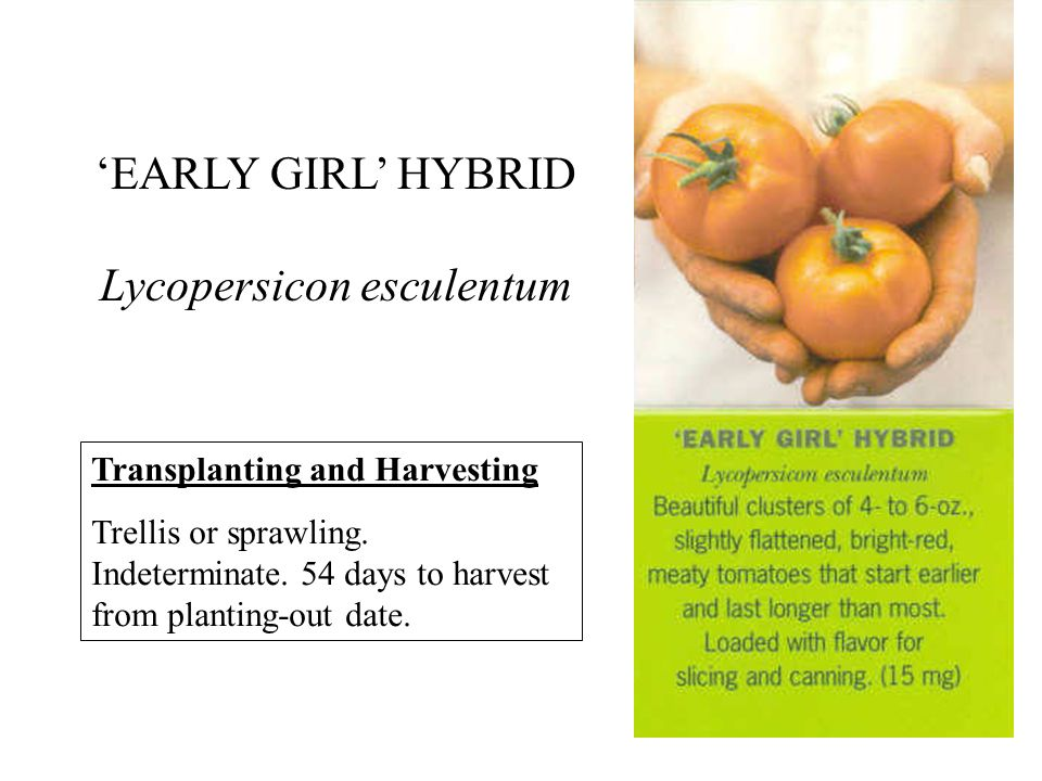 EARLY GIRL HYBRID Lycopersicon esculentum Transplanting and Harvesting Trellis or sprawling.