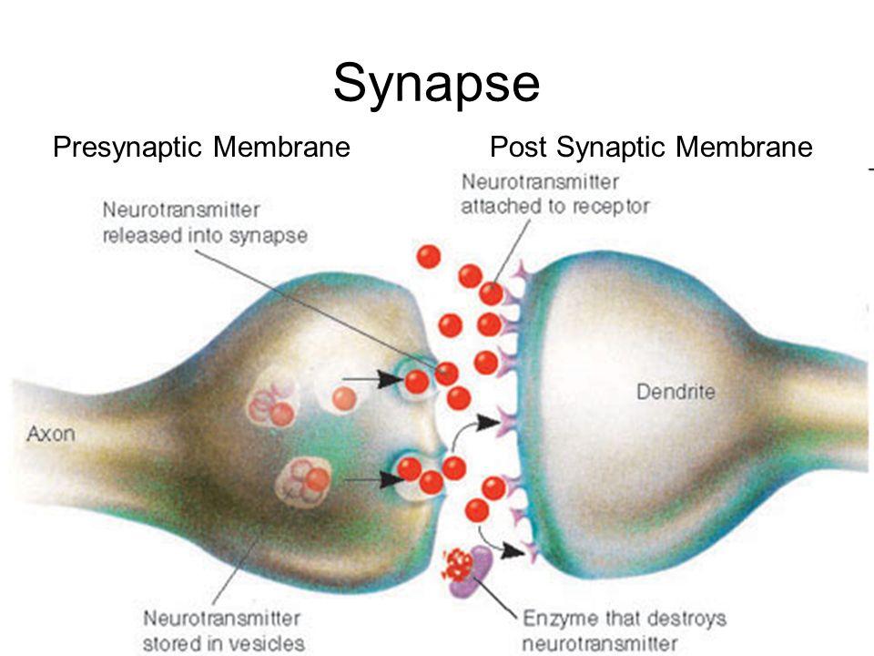 Synapse Presynaptic MembranePost Synaptic Membrane