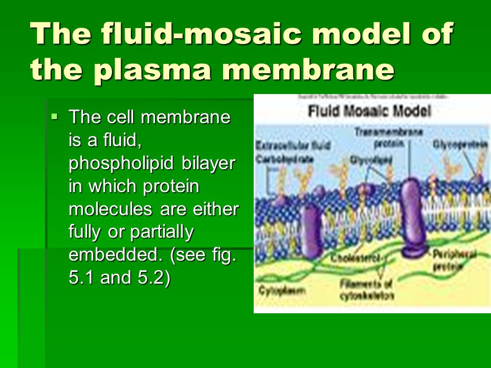 The fluid-mosaic model of the plasma membrane The cell membrane is a fluid, phospholipid bilayer in which protein molecules are either fully or partially embedded.