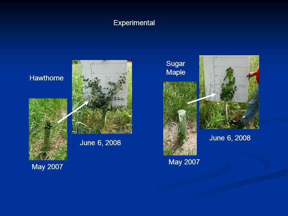 Hawthorne June 6, 2008 May 2007 June 6, 2008 May 2007 Sugar Maple Experimental