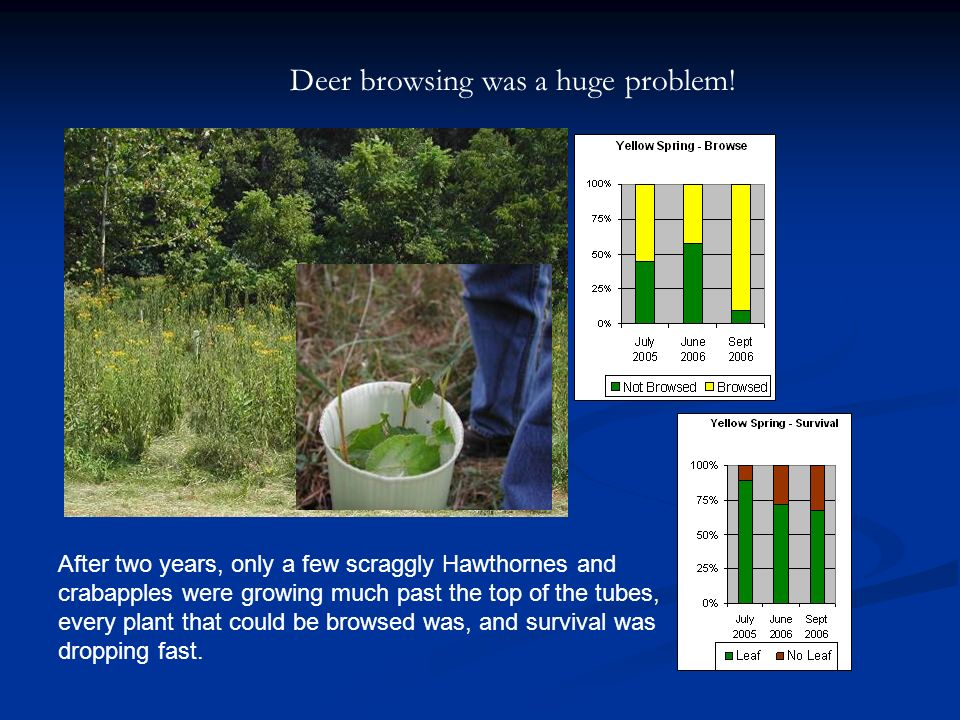 Deer browsing was a huge problem.