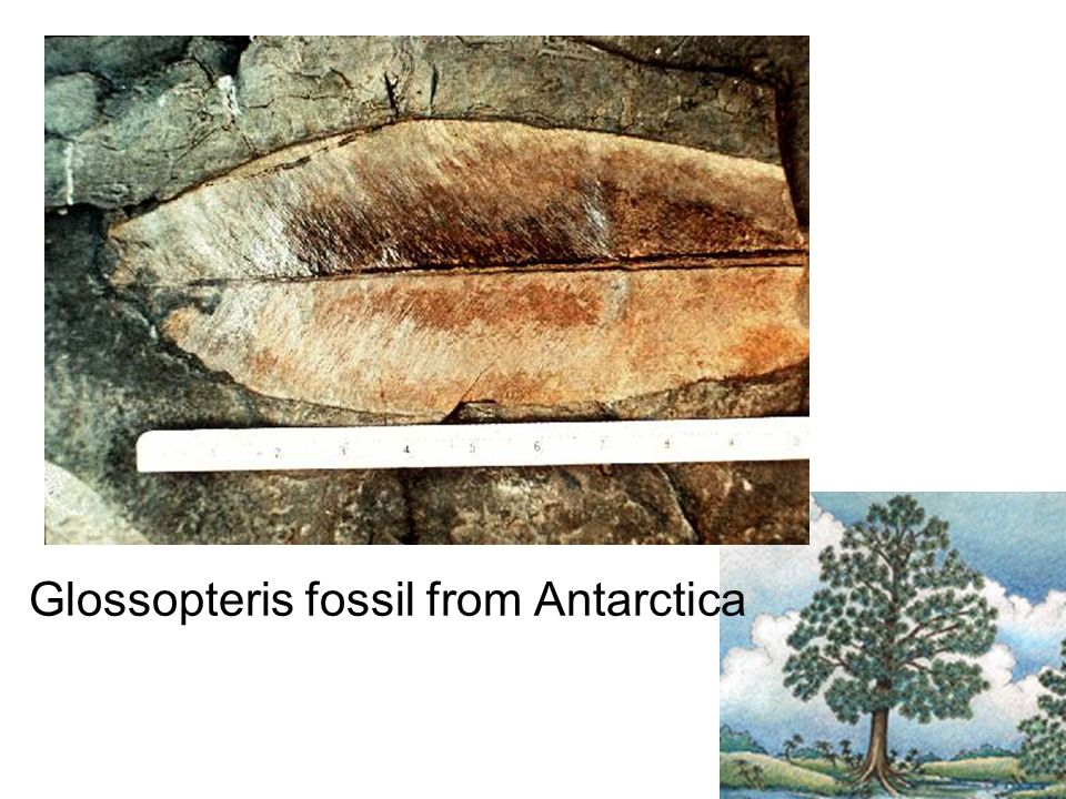 Glossopteris fossil from Antarctica