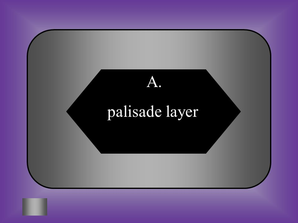 A:B: palisade layerepidermis #3 In what part of the leaf does most photosynthesis take place? C:D: stomataguard cells