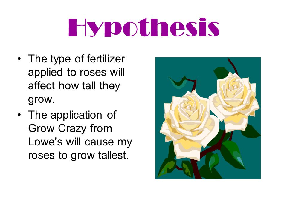 Hypothesis The type of fertilizer applied to roses will affect how tall they grow. The application of Grow Crazy from Lowes will cause my roses to gro