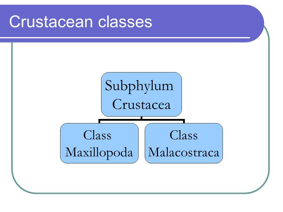 Crustacean classes Subphylum Crustacea Class Maxillopoda Class Malacostraca