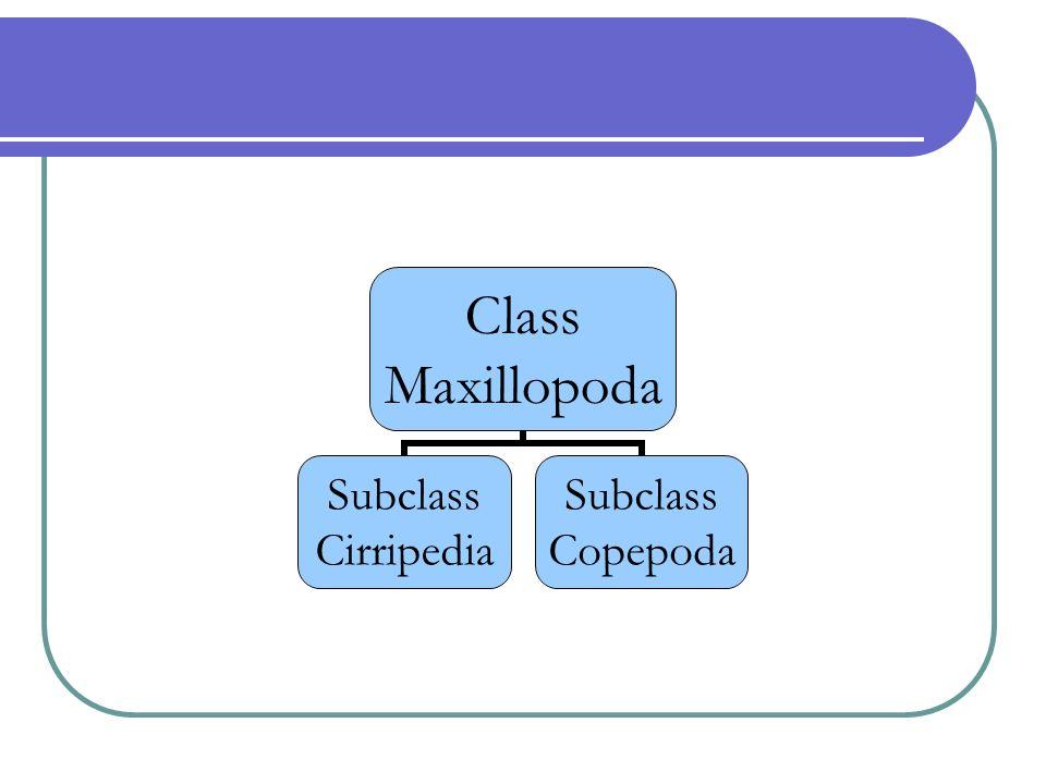 Class Maxillopoda Subclass Cirripedia Subclass Copepoda