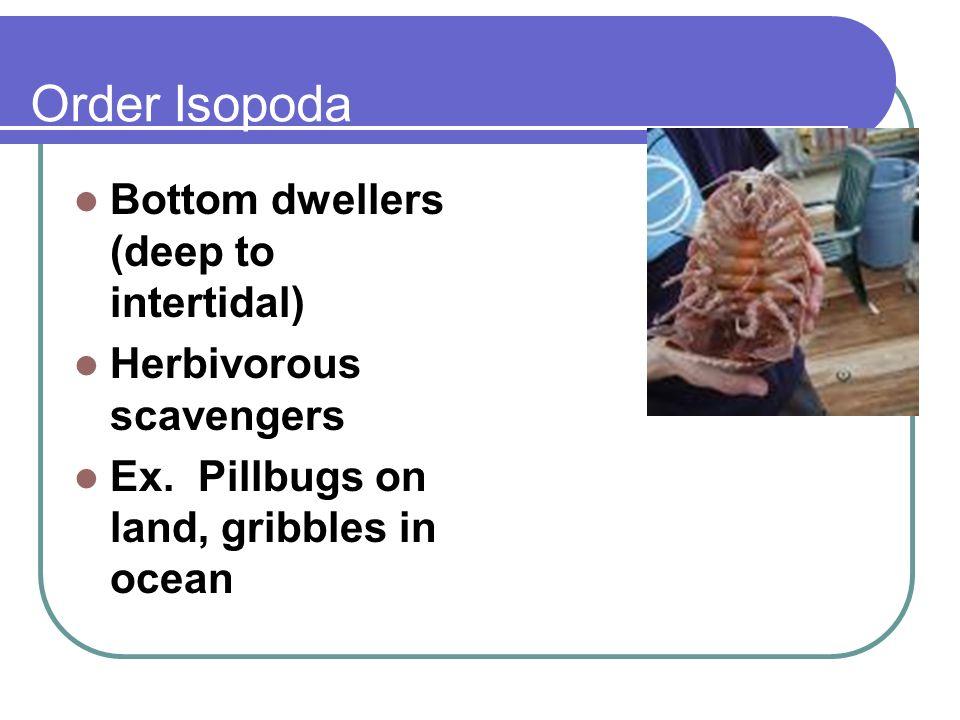 Order Isopoda Bottom dwellers (deep to intertidal) Herbivorous scavengers Ex. Pillbugs on land, gribbles in ocean