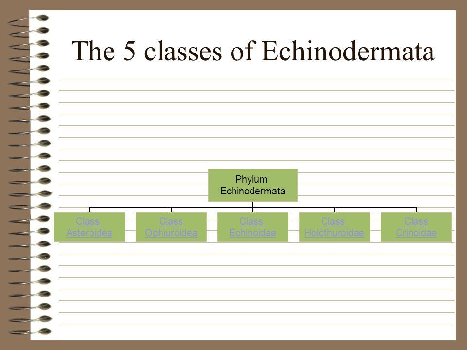 The 5 classes of Echinodermata Phylum Echinodermata Class Asteroidea Class Ophiuroidea Class Echinoidae Class Holothuroidae Class Crinoidae