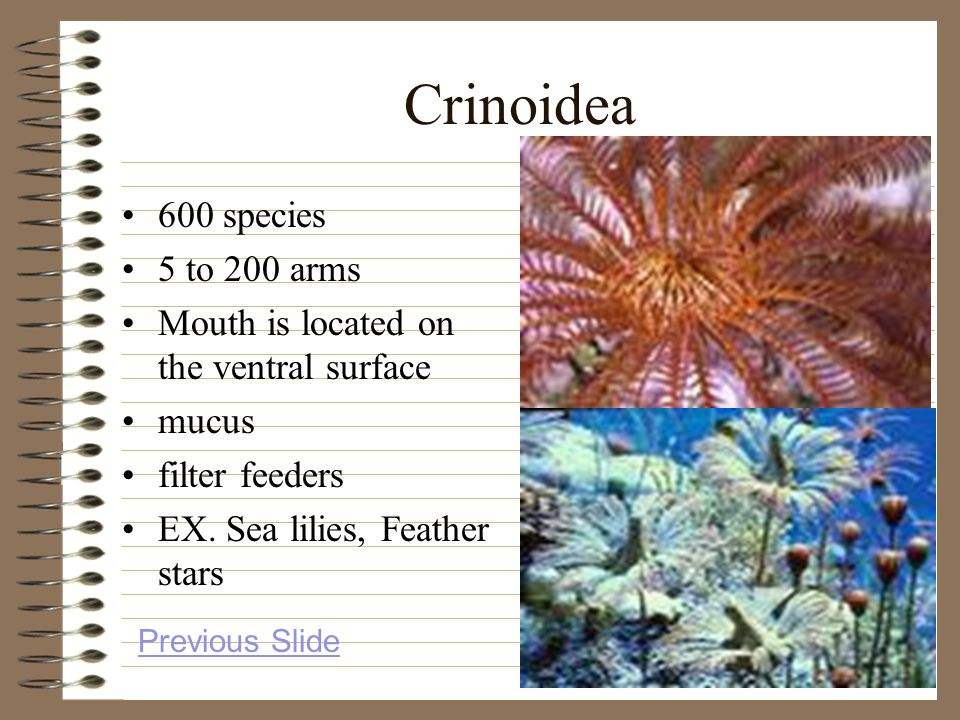 Crinoidea 600 species 5 to 200 arms Mouth is located on the ventral surface mucus filter feeders EX. Sea lilies, Feather stars Previous Slide
