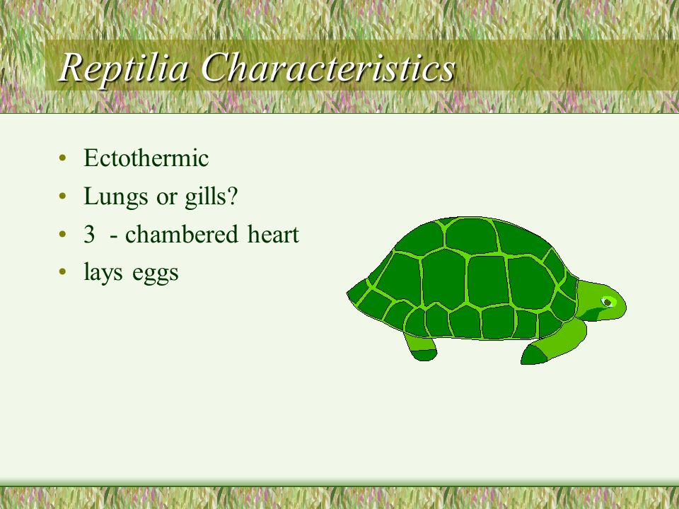 Reptilia Characteristics Ectothermic Lungs or gills? 3 - chambered heart lays eggs