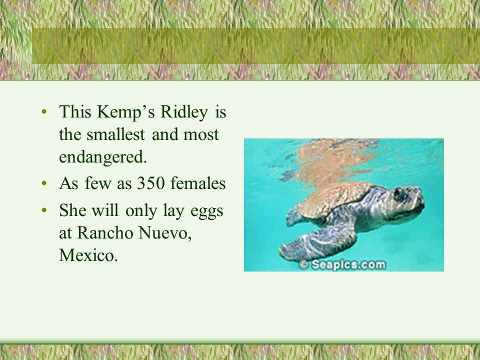 This Kemps Ridley is the smallest and most endangered.