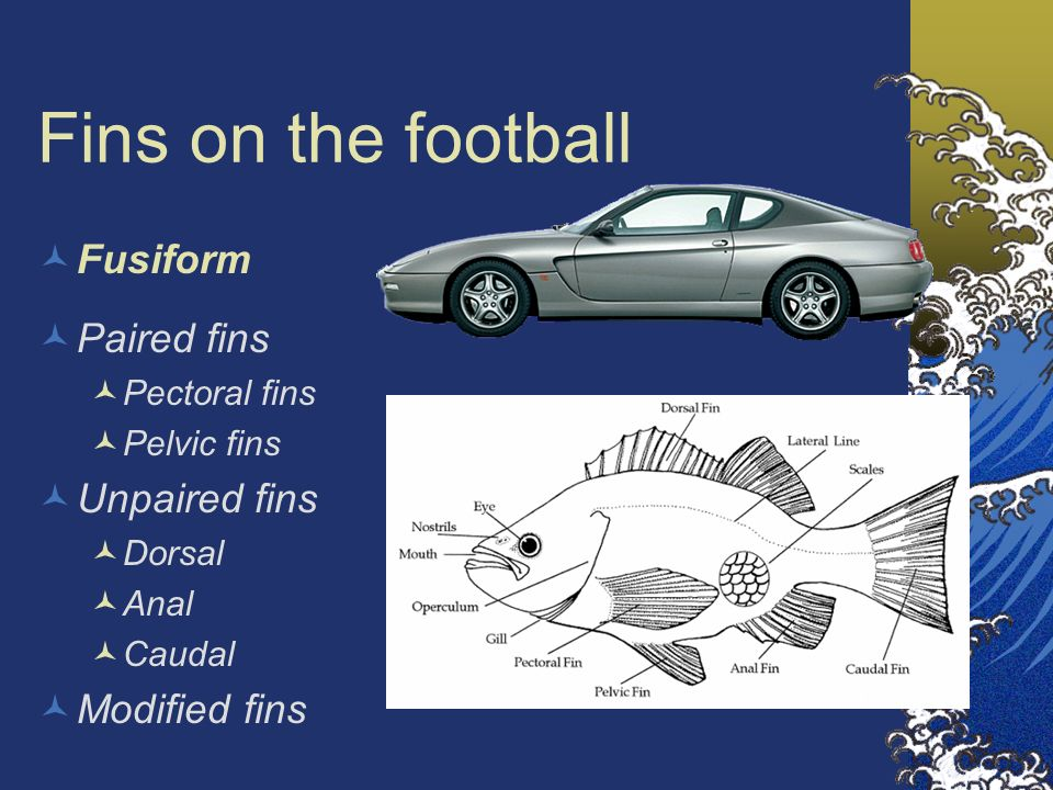 Fins on the football Fusiform Paired fins Pectoral fins Pelvic fins Unpaired fins Dorsal Anal Caudal Modified fins
