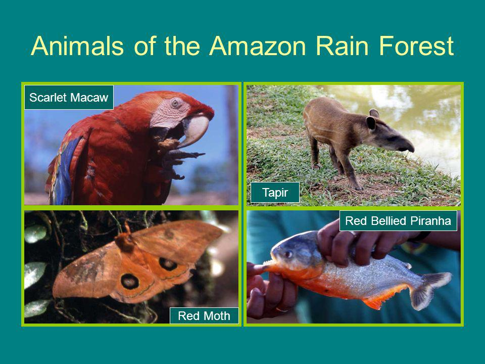 Animals of the Amazon Rain Forest Scarlet Macaw Tapir Red Bellied Piranha Red Moth