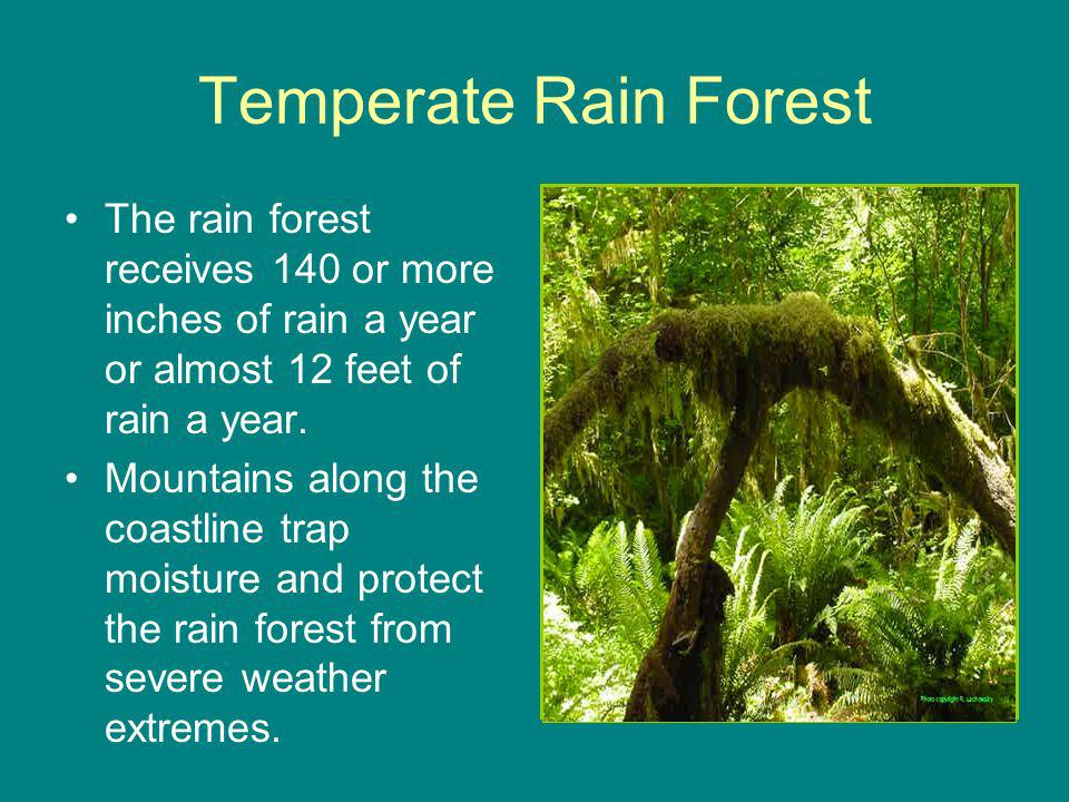 Temperate Rain Forest The rain forest receives 140 or more inches of rain a year or almost 12 feet of rain a year.