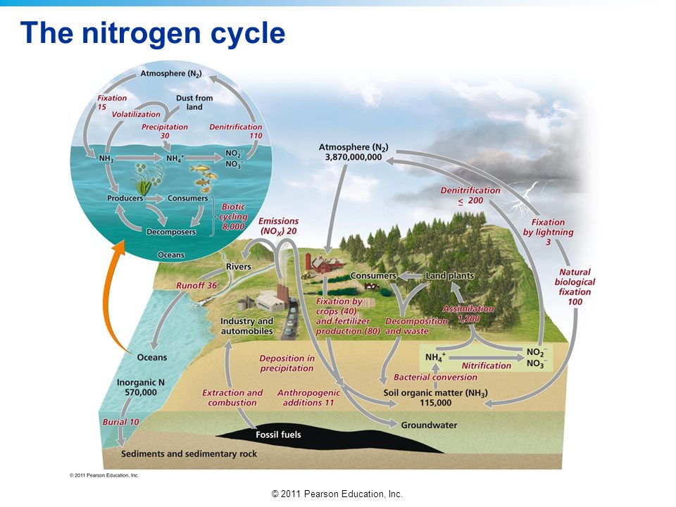 © 2011 Pearson Education, Inc. The nitrogen cycle