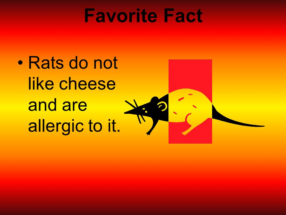 Favorite Fact Rats do not like cheese and are allergic to it.