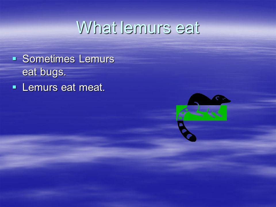 What lemurs eat Sometimes Lemurs eat bugs. Sometimes Lemurs eat bugs. Lemurs eat meat. Lemurs eat meat.