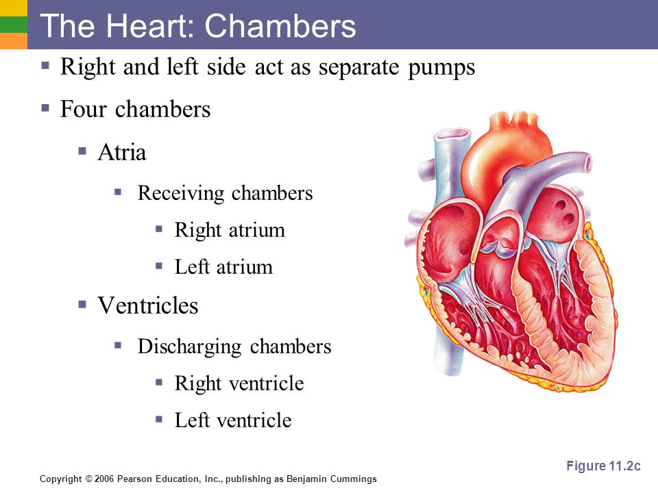 Copyright © 2006 Pearson Education, Inc., publishing as Benjamin Cummings The Heart: Chambers Right and left side act as separate pumps Four chambers