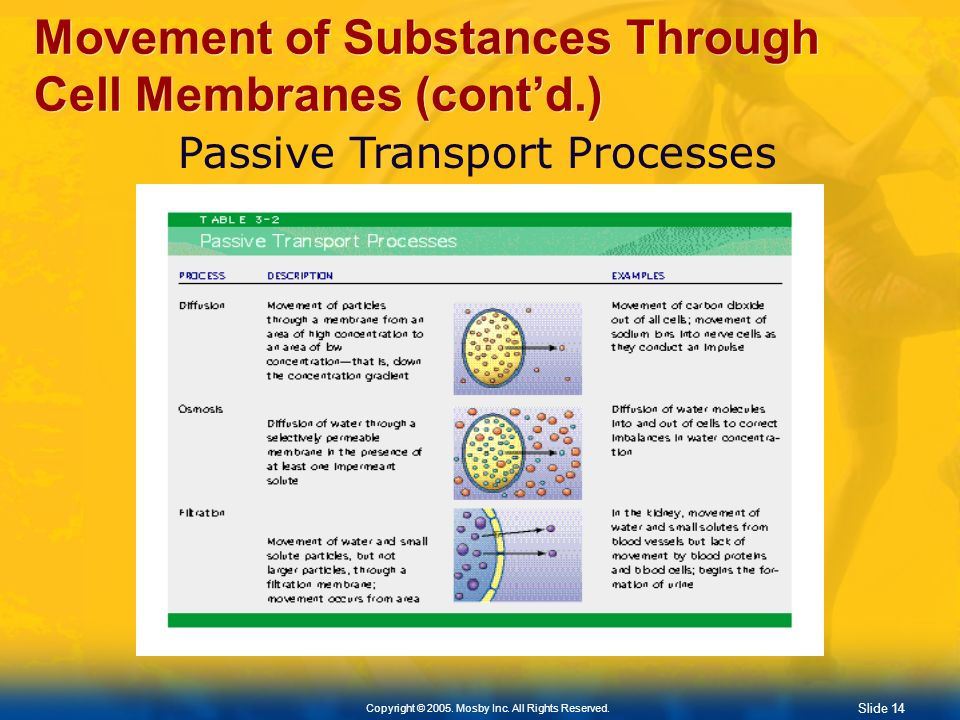 Slide 14 Copyright © 2005. Mosby Inc. All Rights Reserved. Movement of Substances Through Cell Membranes (contd.) Passive Transport Processes