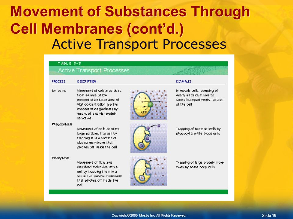 Slide 18 Copyright © 2005. Mosby Inc. All Rights Reserved. Movement of Substances Through Cell Membranes (contd.) Active Transport Processes