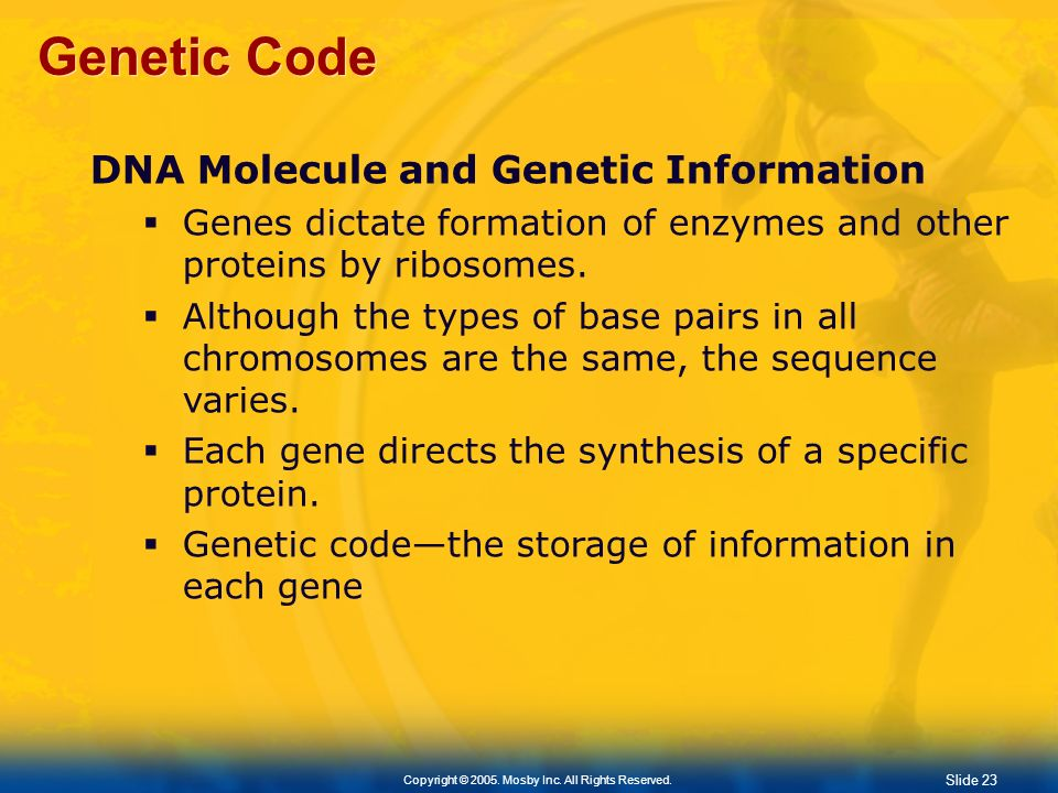 Slide 23 Copyright © 2005. Mosby Inc. All Rights Reserved. Genetic Code DNA Molecule and Genetic Information Genes dictate formation of enzymes and ot