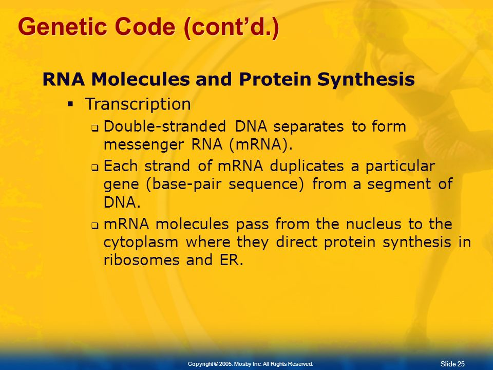 Slide 25 Copyright © 2005. Mosby Inc. All Rights Reserved. Genetic Code (contd.) RNA Molecules and Protein Synthesis Transcription Double-stranded DNA