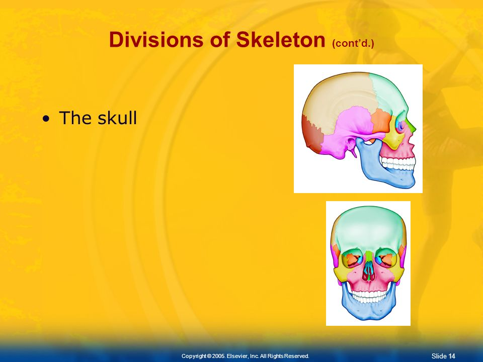 Slide 13 Copyright © 2005. Elsevier, Inc. All Rights Reserved. Divisions of Skeleton (contd.) Axial Skeleton Skull Spine (Vertebral Column) Consists o