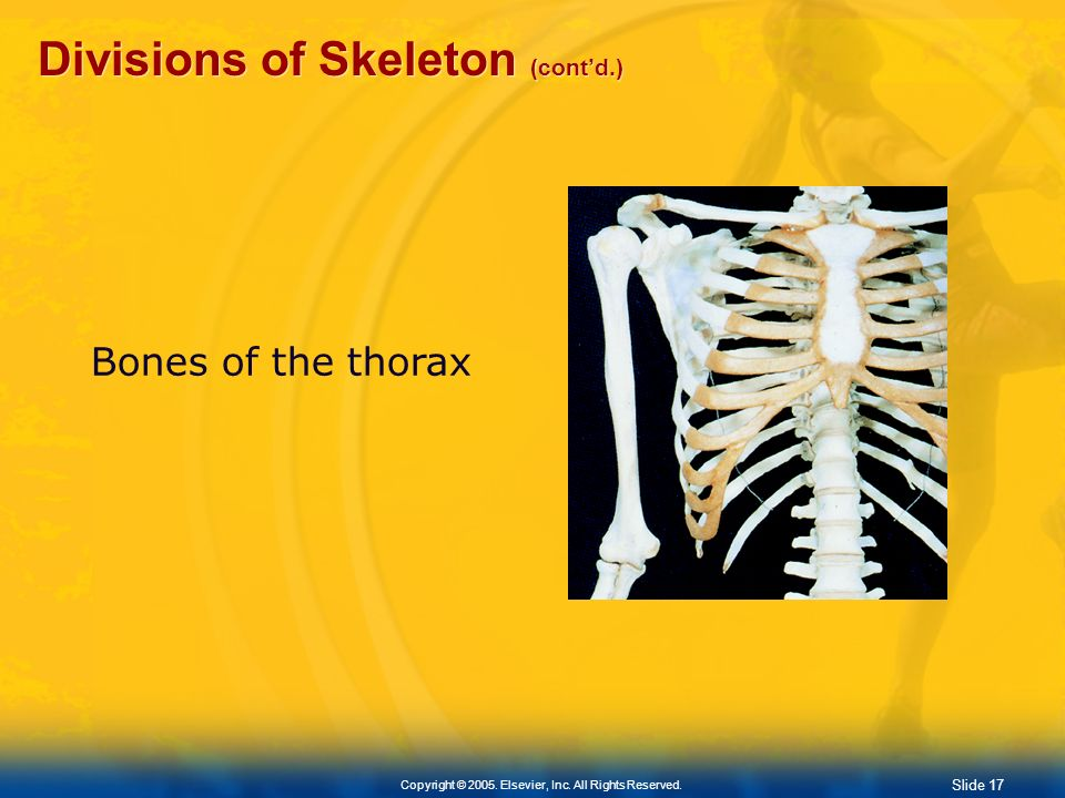 Slide 16 Copyright © 2005. Elsevier, Inc. All Rights Reserved. Divisions of Skeleton (contd.) Axial Skeleton Thorax Formed by: 12 pairs of ribs The st