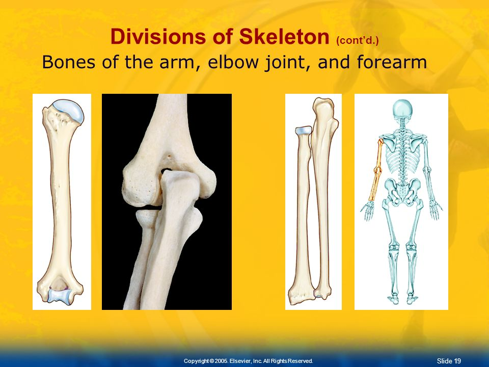 Slide 18 Copyright © 2005. Elsevier, Inc. All Rights Reserved. Divisions of Skeleton (contd.) Appendicular Skeleton Upper Extremity Formed by: Scapula