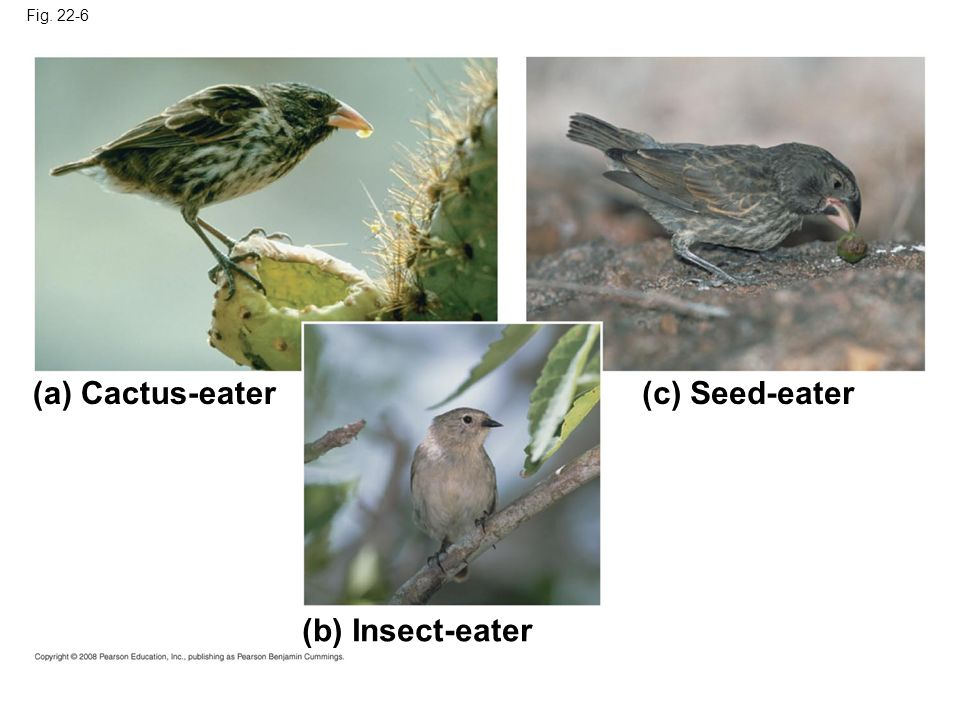 Fig. 22-6 (a) Cactus-eater(c) Seed-eater (b) Insect-eater