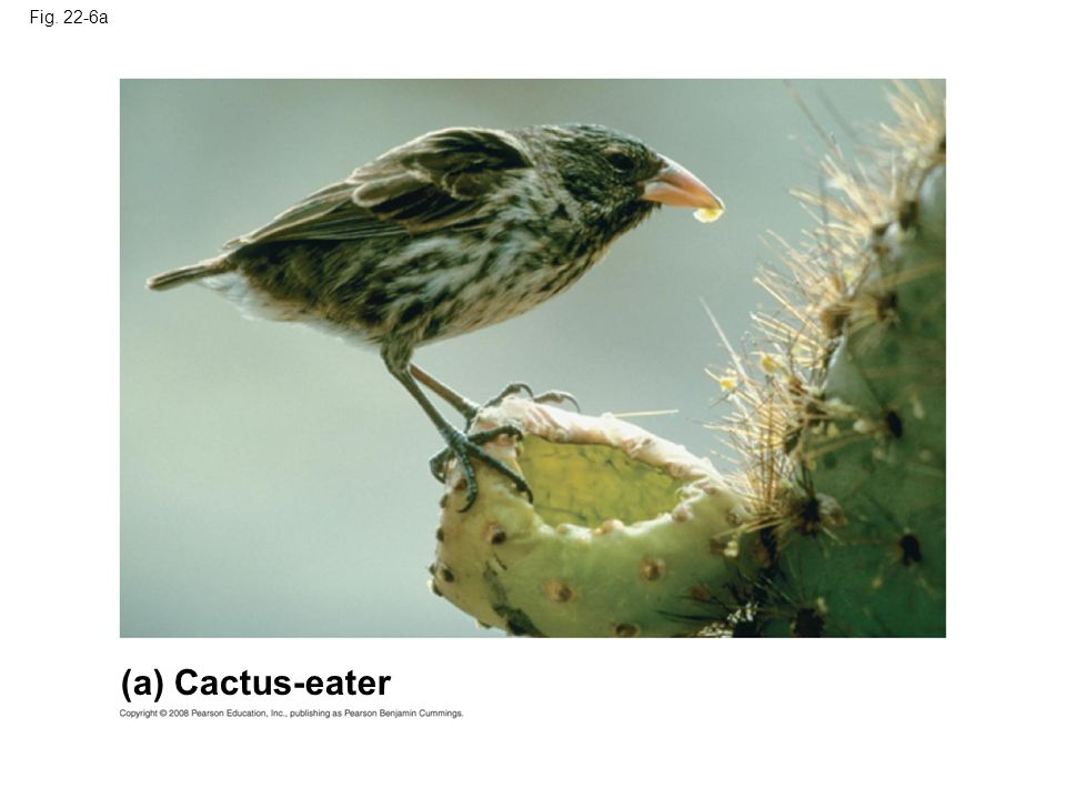 Fig. 22-6a (a) Cactus-eater