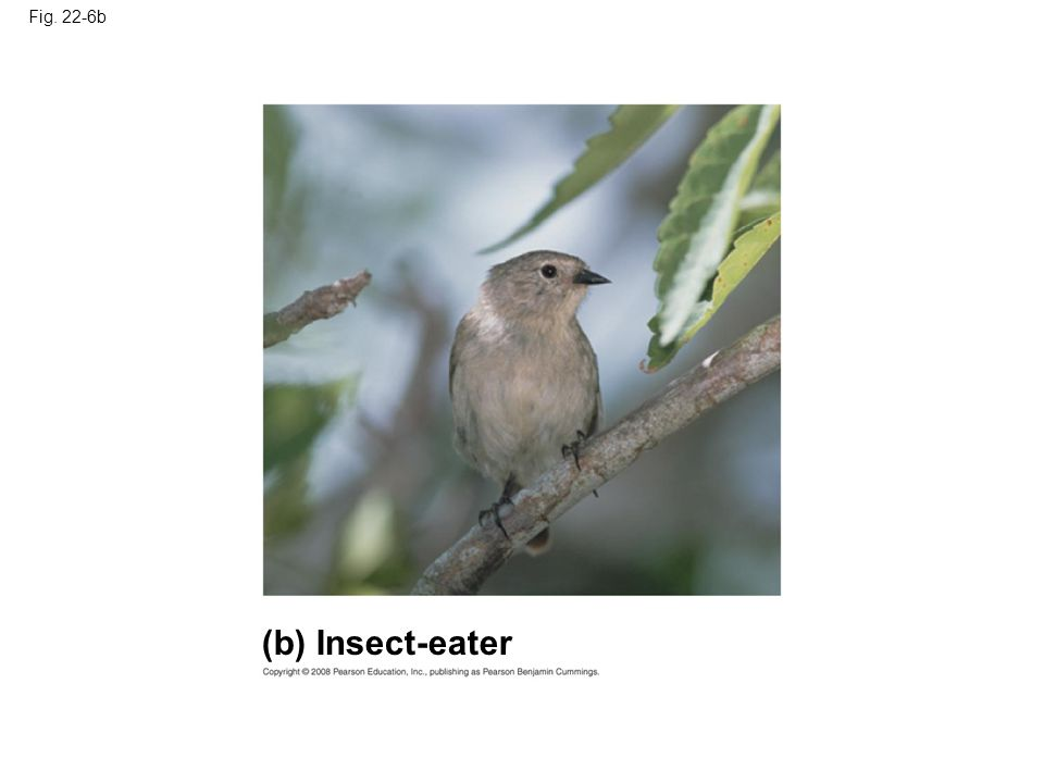 Fig. 22-6b (b) Insect-eater