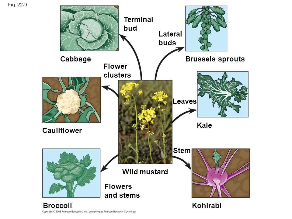 Fig. 22-9 Kale Kohlrabi Brussels sprouts Leaves Stem Wild mustard Flowers and stems Broccoli Cauliflower Flower clusters Cabbage Terminal bud Lateral
