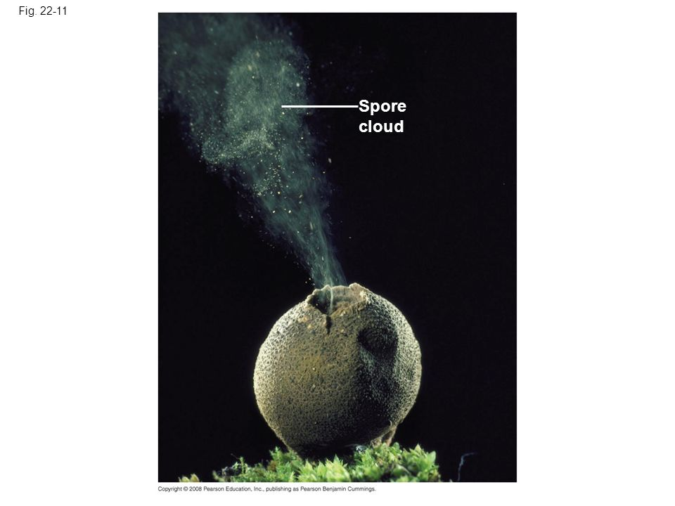Fig. 22-11 Spore cloud
