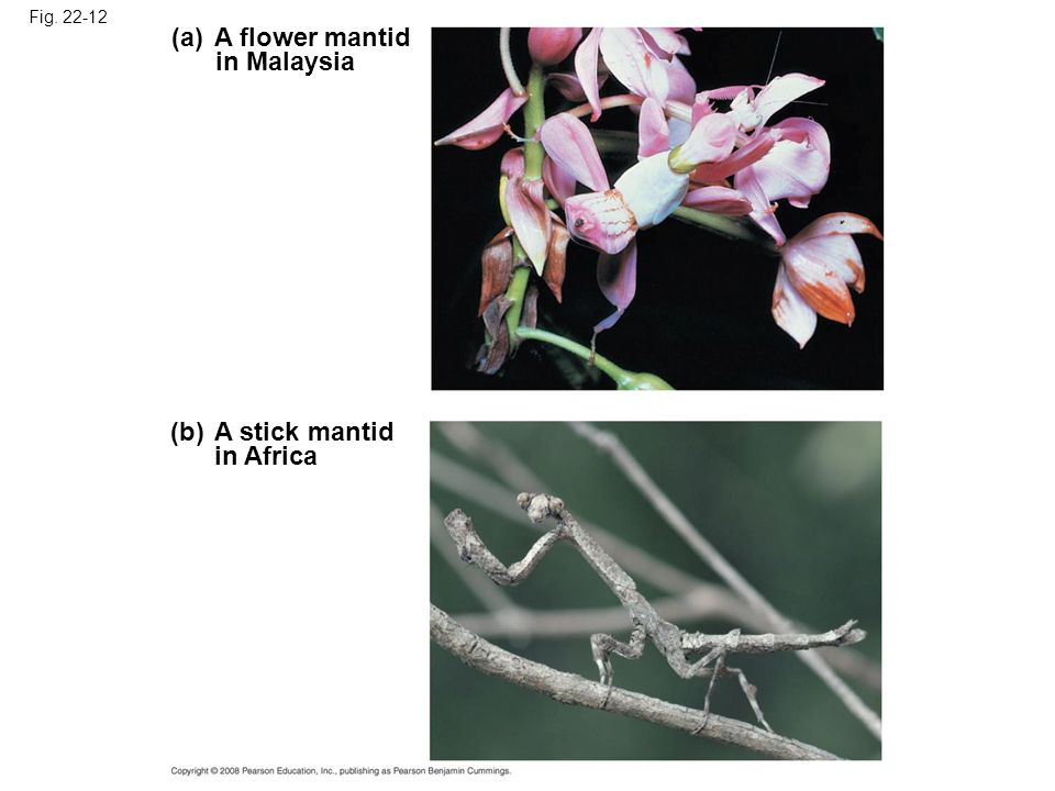 Fig. 22-12 (b) A stick mantid in Africa (a) A flower mantid in Malaysia