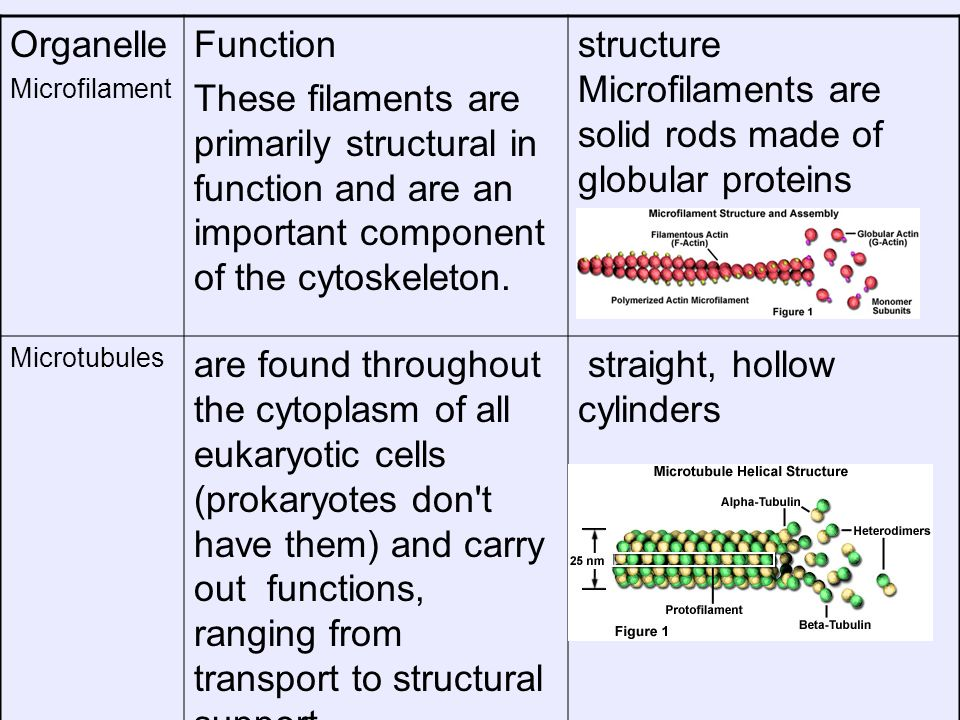 Organelle Microfilament Function These filaments are primarily structural in function and are an important component of the cytoskeleton. structure Mi