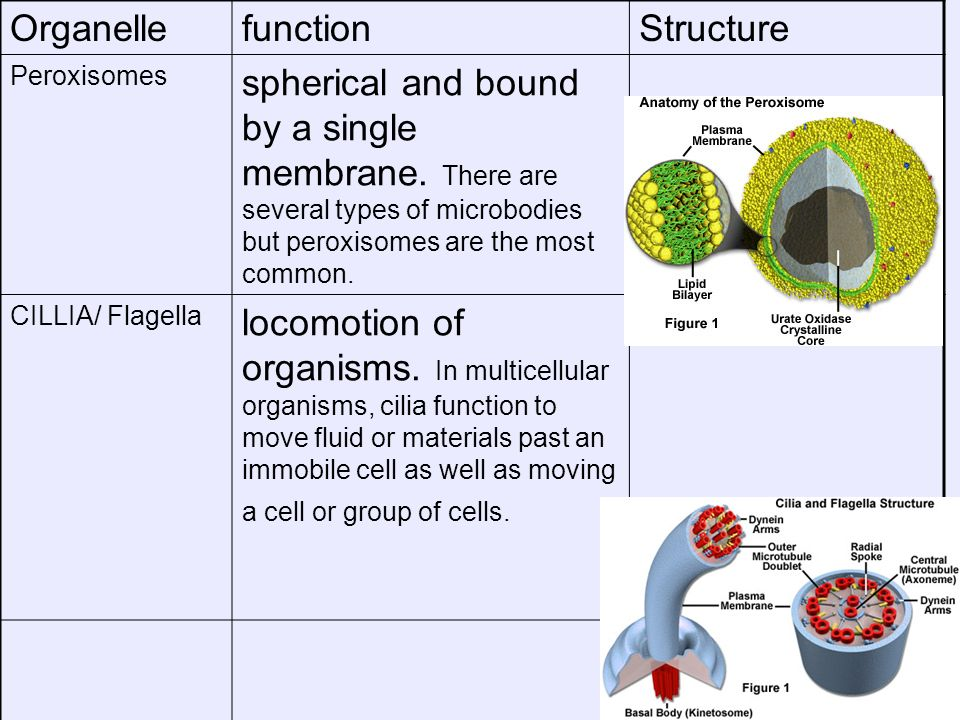 OrganellefunctionStructure Peroxisomes spherical and bound by a single membrane. There are several types of microbodies but peroxisomes are the most c