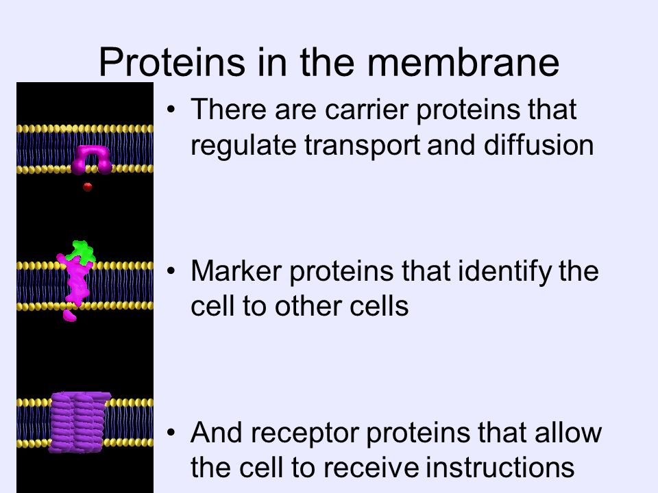 Proteins in the membrane There are carrier proteins that regulate transport and diffusion Marker proteins that identify the cell to other cells And re