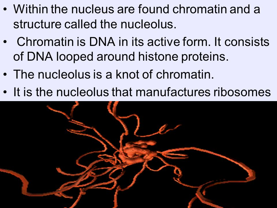 Within the nucleus are found chromatin and a structure called the nucleolus. Chromatin is DNA in its active form. It consists of DNA looped around his