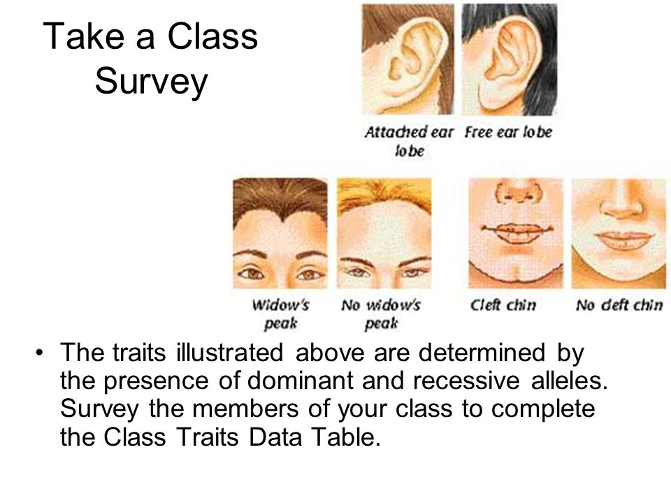 Take a Class Survey The traits illustrated above are determined by the presence of dominant and recessive alleles. Survey the members of your class to