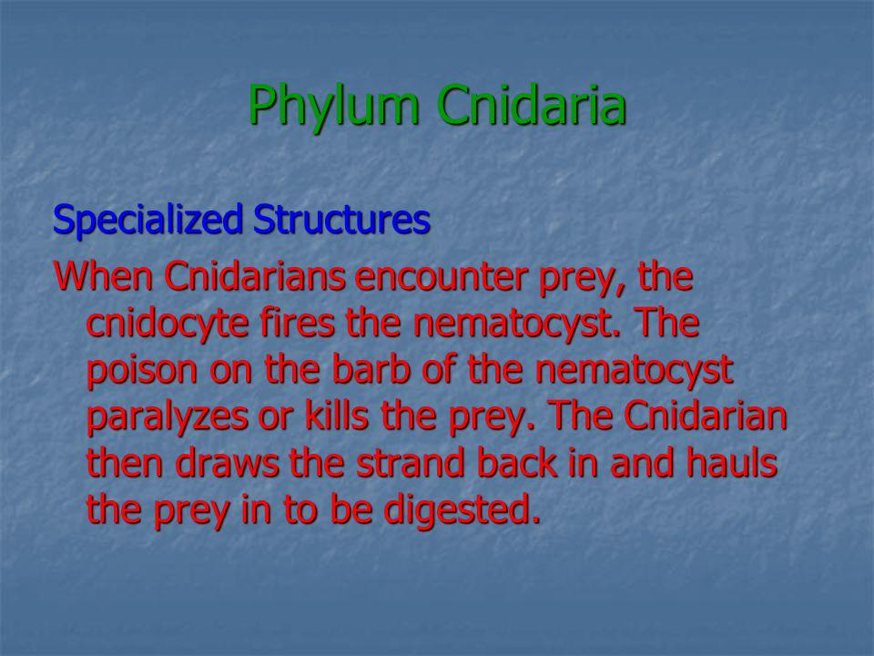 Phylum Cnidaria Nerve Net Cnidarians lack a sophisticated Cnidarians lack a sophisticated nervous system but possess a ________.